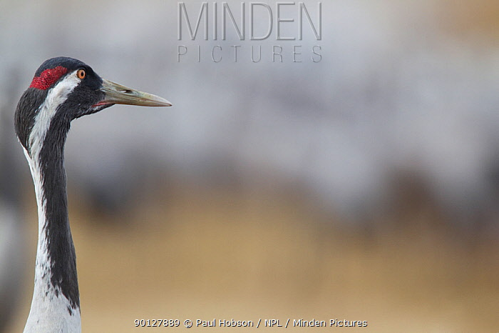 Common crane (Grus grus) head portrait in profile, Lake Hornborga, Sweden April  -  Paul Hobson/ npl