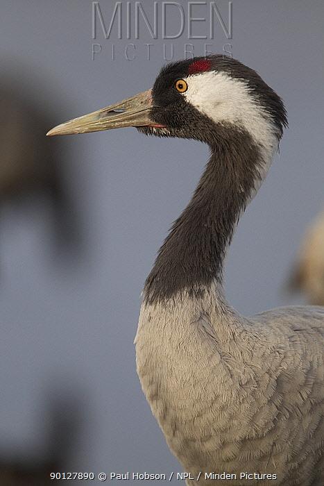 Common crane, (Grus grus) head detail, Lake Hornborga, Sweden April  -  Paul Hobson/ npl