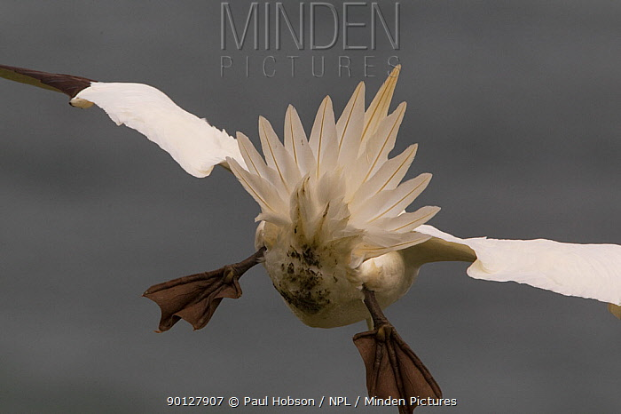 Gannet, (Sula bassana) rear view, flying into head wind, tail used as break, Yorkshire coastline, England UK May  -  Paul Hobson/ npl