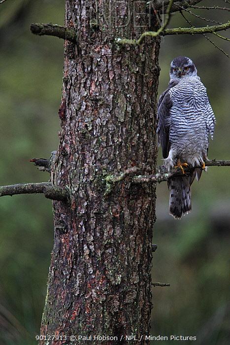 Northern Goshawk (Accipter gentilis) perched in pine tree, Peak District, England, UK December, Captive  -  Paul Hobson/ npl