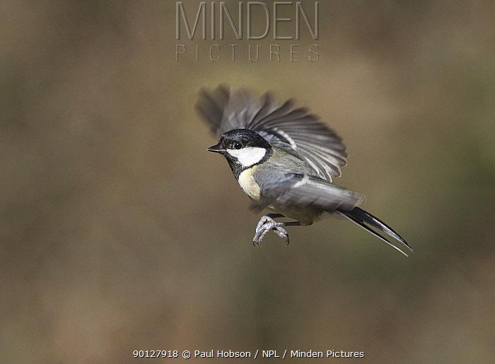 Great tit (Parus major) in flight, Peak District, England, UK March  -  Paul Hobson/ npl