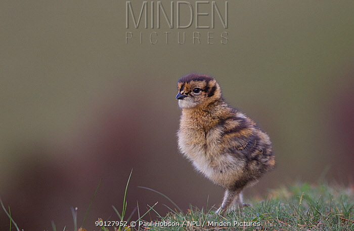 Red grouse (Lagopus lagopus scoticus) chick, standing alone on short grass, Peak district, England, UK May  -  Paul Hobson/ npl