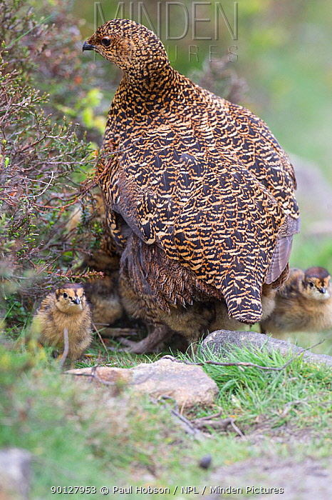 Red grouse (Lagopus lagopus scoticus) female with chicks, Peak district, England, UK May  -  Paul Hobson/ npl