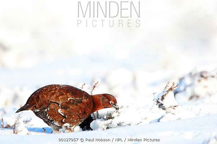 Red grouse (Lagopus lagopus scoticus) male standing on snow covered moorland, Peak district, England, UK January  -  Paul Hobson/ npl