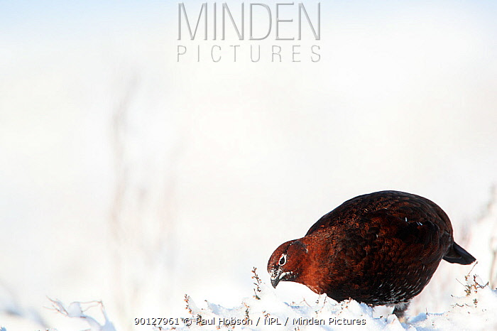 Red grouse (Lagopus lagopus scoticus) male standing on snow covered moorland, displaying, Peak district, England, UK January  -  Paul Hobson/ npl