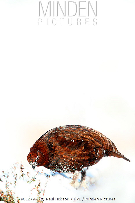 Red grouse (Lagopus lagopus scoticus) male standing on snow covered moorland, foraging, Peak district, England, UK January  -  Paul Hobson/ npl