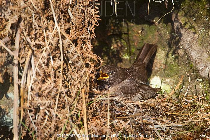 Ring Ouzel (Turdus torquatus) female calling and sitting on nest, Peak District, England, UK May  -  Paul Hobson/ npl