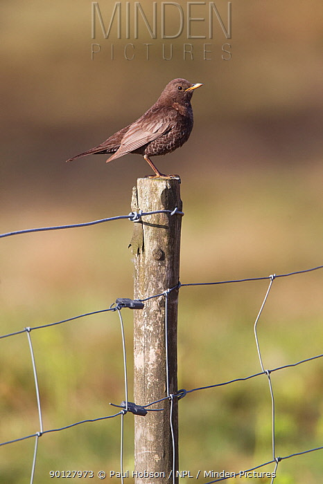 Ring Ouzel (Turdus torquatus) female perched on fence post, Peak District, England, UK May  -  Paul Hobson/ npl