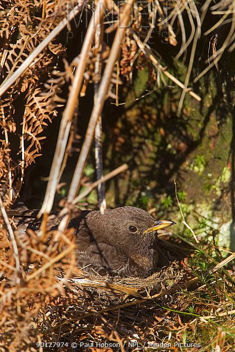 Ring Ouzel (Turdus torquatus) female sitting on nest, Peak District, England, UK May  -  Paul Hobson/ npl