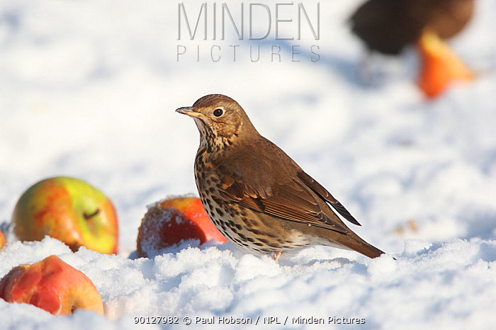 Song thrush (Turdus philomelos) on snow covered ground with apples, Peak District, England, UK January  -  Paul Hobson/ npl