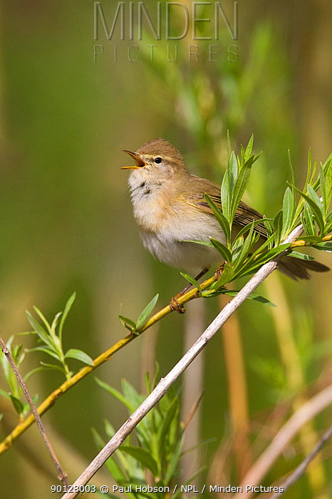 Willow warbler (Phyloscopus trochilus) perched on branch, singing, Peak District, England, UK May  -  Paul Hobson/ npl