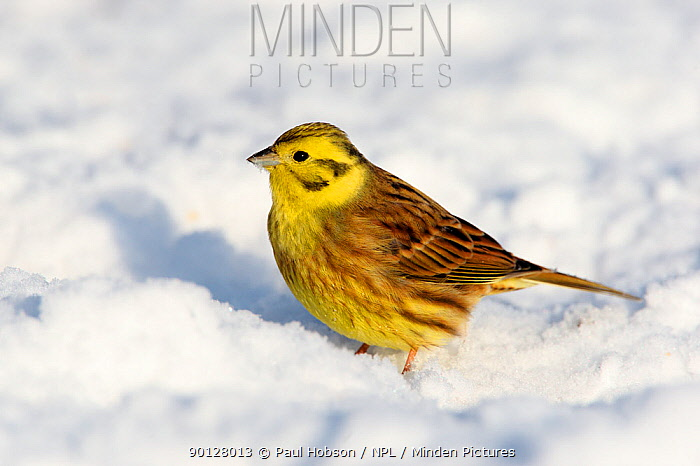 Yellowhammer (Emberiza citrinella) male on snow covered ground in winter, Peak District, England, UK  -  Paul Hobson/ npl