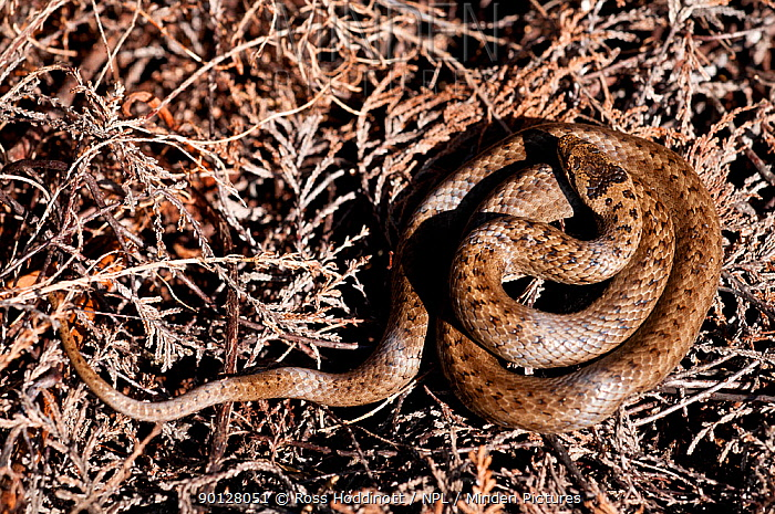 Smooth snake (Coronella austriaca) coiled up resting on heathland, Studland, Dorset, England, UK April 2010  -  Ross Hoddinott/ npl