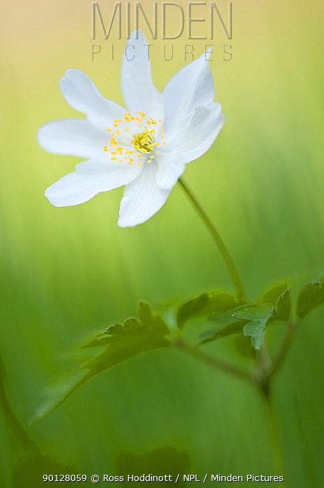 Wood anemone (Anemone nemorosa) single flower, Halsdon woodland, Devon, England, UK April 2010  -  Ross Hoddinott/ npl