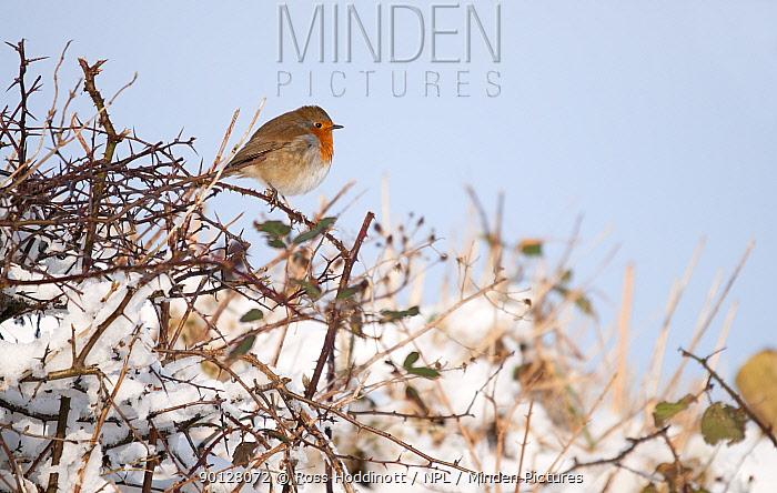 Robin (Erithacus rubecula) perched in snow covered hedgerow, Nr Bradworthy, Devon, UK January  -  Ross Hoddinott/ npl