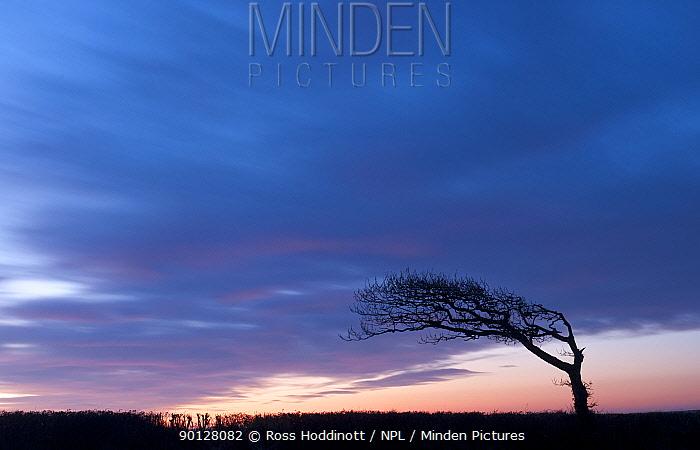 Silhouetted windswept tree, north Cornwall, England, UK February 2010  -  Ross Hoddinott/ npl