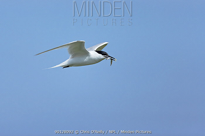 Sandwich tern (Sterna sandvicensis) Adult in flight with a sandeel in its bill, Northumbria, UK  -  Chris O'Reilly/ npl