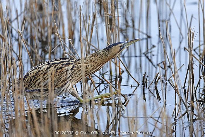 Bittern (Botaurus stellaris) Adult wading through water amongst reeds, Winter, UK, Wild  -  Chris O'Reilly/ npl