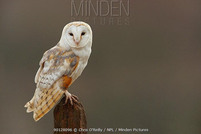 Barn owl (Tyto alba) adult perched, Cairngorms National Park, Scotland, UK, Captive  -  Chris O'Reilly/ npl