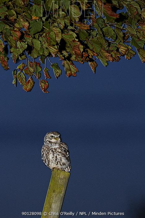 Little owl (Athene noctua) perched on fence post at dusk, Parkland, Derbyshire, UK, September  -  Chris O'Reilly/ npl