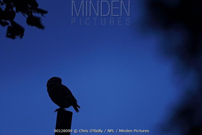 Silhouette of Little owl (Athene noctua) perched on fence post at dusk, Parkland, Derbyshire, UK, September  -  Chris O'Reilly/ npl