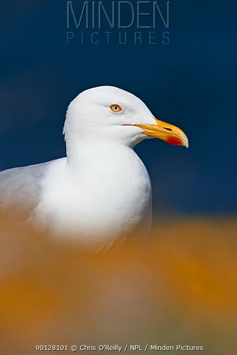 Herring gull (Larus argentatus) adult portrait, Scotland, UK, July  -  Chris O'Reilly/ npl