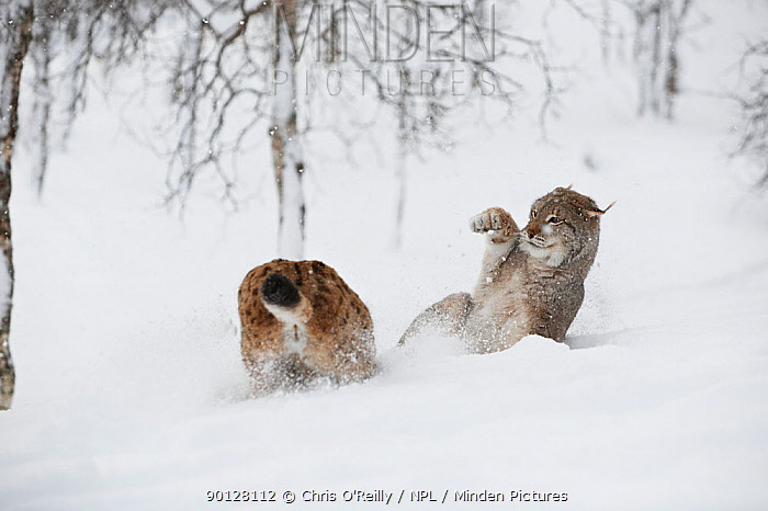 European lynx (Lynx lynx) adult male and female, female warning the male off during estrous, boreal birch forest, Nord-Trondelag, Norway, Captive  -  Chris O'Reilly/ npl