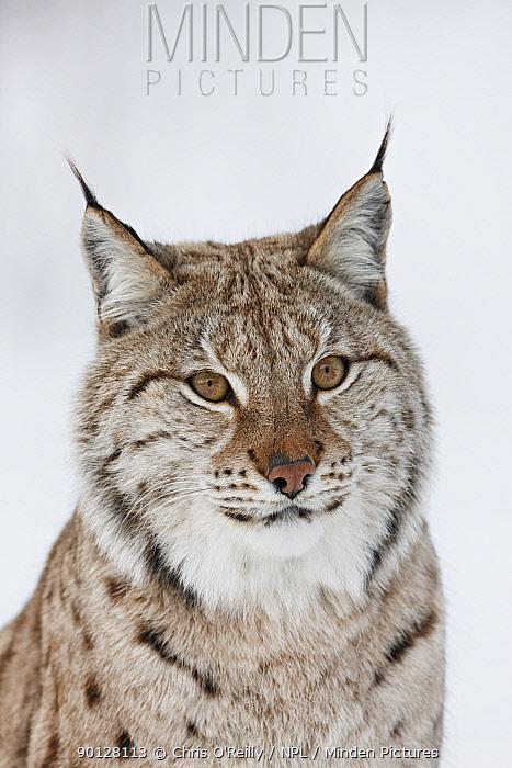 European lynx (Lynx lynx) adult female portrait in snow, Boreal birch forest, Nord-Trondelag, Norway, Captive  -  Chris O'Reilly/ npl