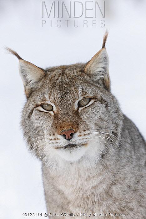 European lynx (Lynx lynx) adult male portrait in snow, Boreal birch forest, Nord-Trondelag, Norway, Captive  -  Chris O'Reilly/ npl