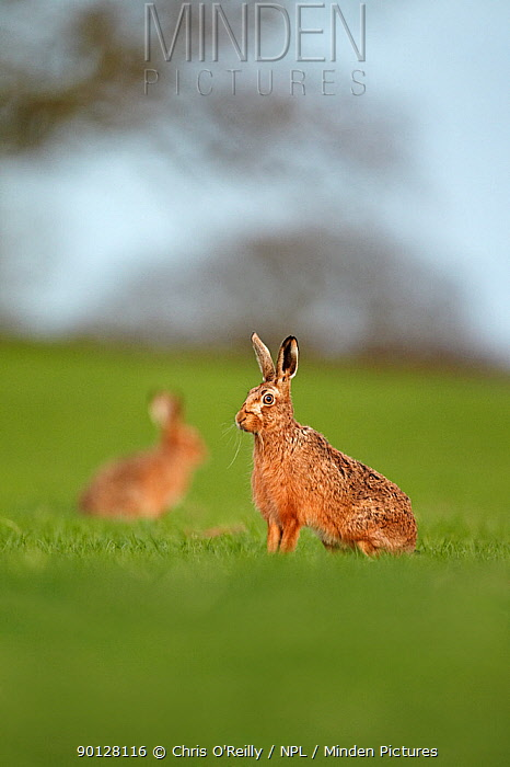 European brown hare (Lepus capensis) adults resting in a field, farmland, Derbyshire, UK, April  -  Chris O'Reilly/ npl