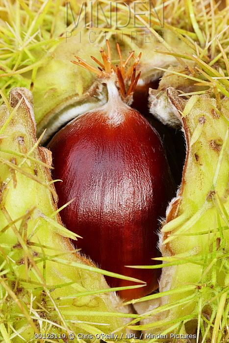 Sweet chestnut (Castanea sativa) fruit surrounded by spiny shell, Derbyshire, UK  -  Chris O'Reilly/ npl