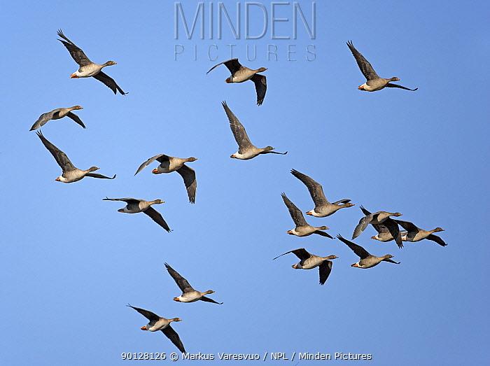 Bean geese (Anser fabalis) small flock flying in formation, Liminka, Finland, Scandinavia April  -  Markus Varesvuo/ npl