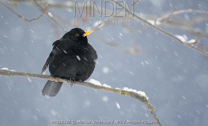 Blackbird (Turdus merula) male perched on branch during heavy snowfall, Helsinki, Finland, Scandinavia, December  -  Markus Varesvuo/ npl