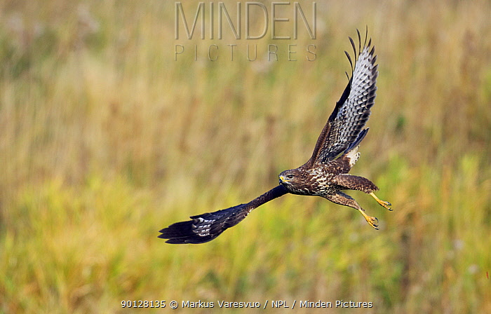 Common Buzzard (Buteo buteo) in flight low over grassland, Sweden, September  -  Markus Varesvuo/ npl