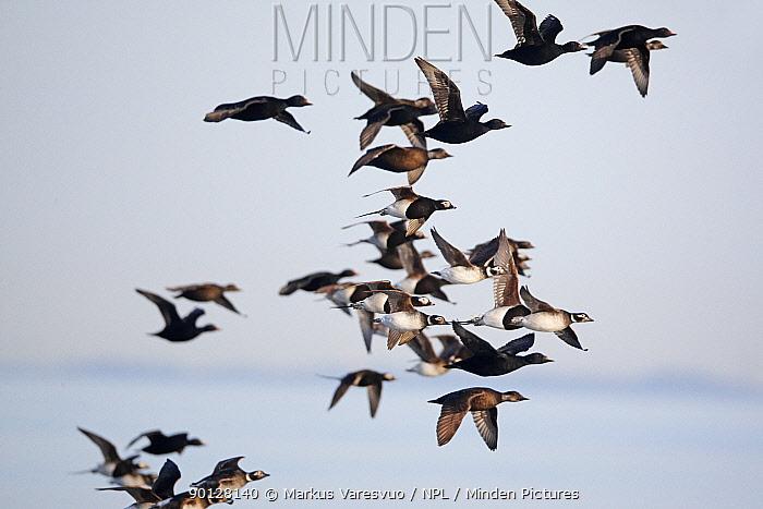 Long-tailed Ducks (Clangula hyemalis) and Black Scooters (Melanitta nigra) flying over water, Porvoo, Finland, Scandinavia, May  -  Markus Varesvuo/ npl
