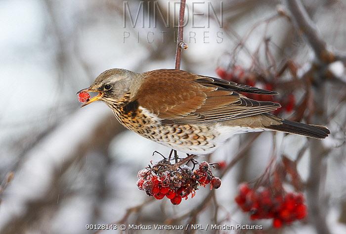 Fieldfare (Turus pilaris) perched on branch feeding on berries, Helsinki, Finland, Scandinavia December  -  Markus Varesvuo/ npl