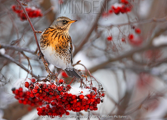 Fieldfare (Turus pilaris) perched on branch with red berries after snowfall, Helsinki, Finland, Scandinavia December  -  Markus Varesvuo/ npl