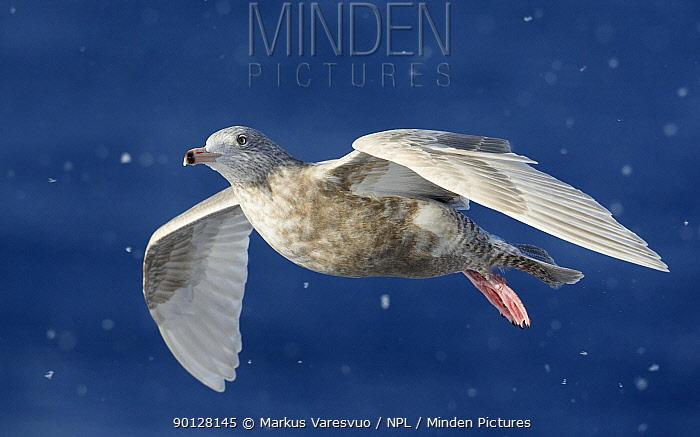 Glaucous gull (Larus hyperboreus) flying in snow fall, Norway, Europe, April  -  Markus Varesvuo/ npl