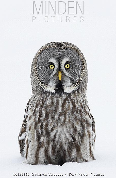 Great Grey owl (Strix nebulosa) portrait sitting in snow, Tornio, Finland, Scandinavia, March  -  Markus Varesvuo/ npl