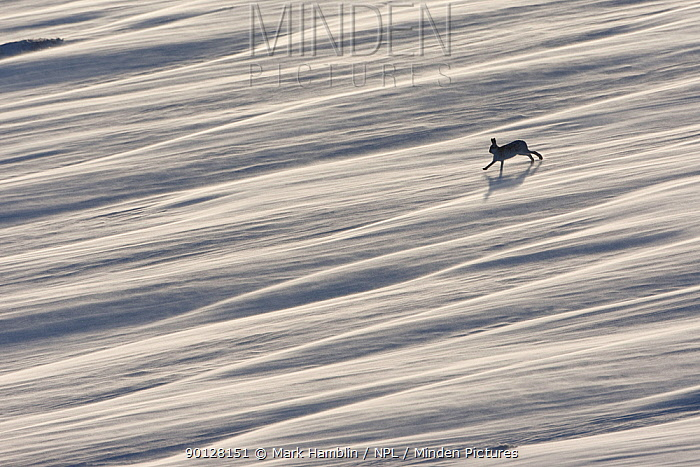 Mountain hare (Lepus timidus) running across wind swept snow field, near Carrbridge, Cairngorms National Park, Scotland, January 2010 Highly commended in the Habitat category of the BWPA competition 2010  -  Mark Hamblin/ npl