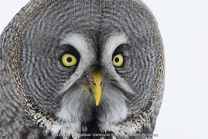 Great Grey owl (Strix nebulosa) head portrait in the snow, Tornio, Finland, Scandinavia, March  -  Markus Varesvuo/ npl