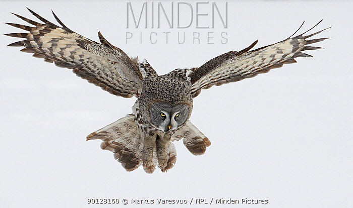 Great Grey owl (Strix nebulosa) hunting, flying over snow covered ground, Tornio, Finland, Scandinavia, March  -  Markus Varesvuo/ npl