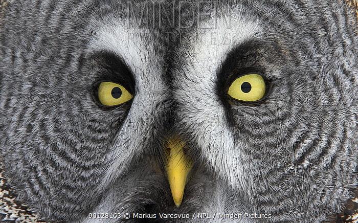 Great Grey owl (Strix nebulosa) big facial close up, Tornio, Finland, Scandinavia, March  -  Markus Varesvuo/ npl