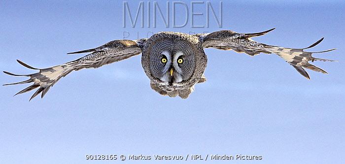 Great Grey owl (Strix nebulosa) flying against blue sky, Raahe, Finland, Scandinavia, March  -  Markus Varesvuo/ npl