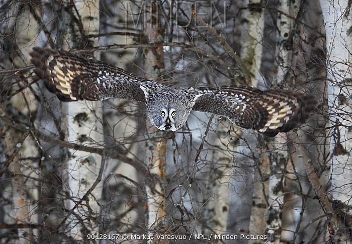 Great Grey owl (Strix nebulosa) flying through snow covered Birch woodlands, Raahe, Finland, Scandinavia, March  -  Markus Varesvuo/ npl
