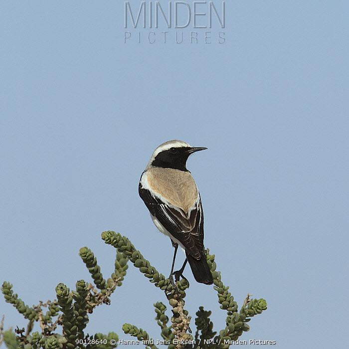 Desert wheatear (Oenanthe deserti) male perched, Oman, January  -  Hanne & Jens Eriksen/ npl