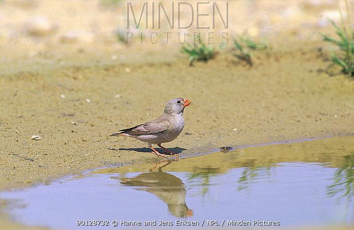 Trumpeter finch (Buchanetes, Rhodopechys githagineaus) at water, Oman, May  -  Hanne & Jens Eriksen/ npl