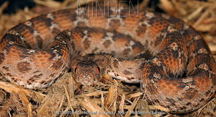 Minden Pictures Stock Photos Egyptian Saw Scaled Viper Echis