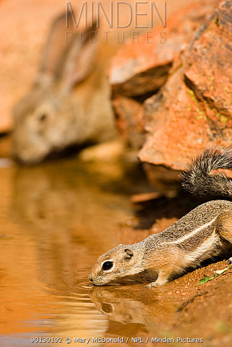 White-tailed Antelope Squirrel (Ammospermophilus leucurus) drinking at water's edge, alongside a Desert Cottontail (Sylvilagus audubonii) Arizona,  -  Mary Mcdonald/ npl