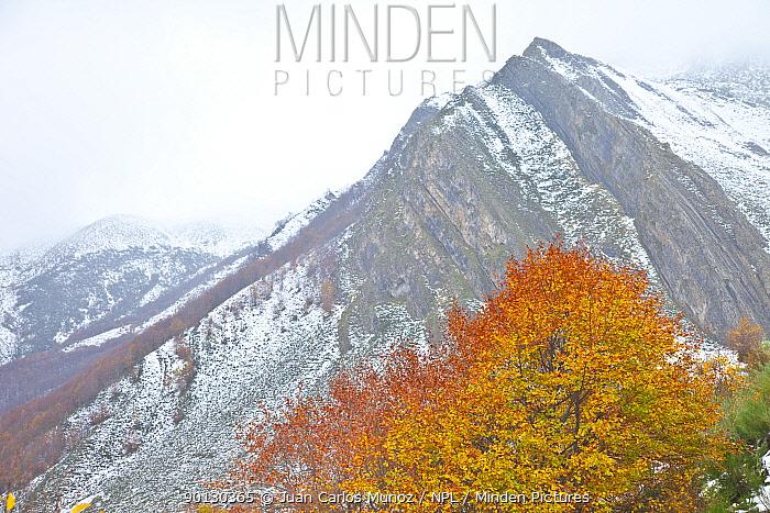 Autumn coloured beech tree with mountain in the background, Somiedo NP, Asturias, Northern Spain, November 2009  -  Juan Carlos Munoz/ npl